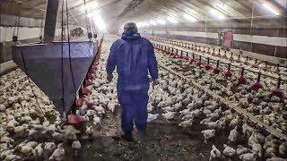 Documentaire La vérité sur le poulet en batterie !