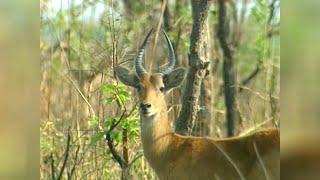 Documentaire L'elan de derby ou l'antilope fantome du mayo oldiri