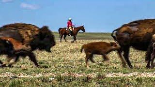 Documentaire Les bisons sont de retours !