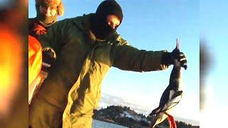 Documentaire Les canards polaires de l'ile kodiak