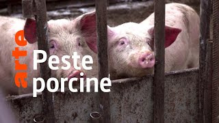 Documentaire Les ravages de la peste porcine en Europe