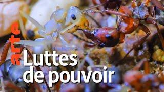 Documentaire Au royaume des fourmis | Episode 2 : Cohabitation à risque