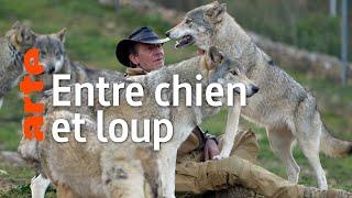 Documentaire Les chiens-loups, des animaux de bonne compagnie ?