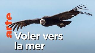 Documentaire Aventures en terre animale   Le condor du pacifique
