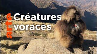 Documentaire Ethiopie : la guerre des singes