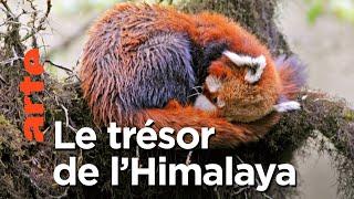 Documentaire Le panda roux de l'Himalaya | Aventures en terre animale