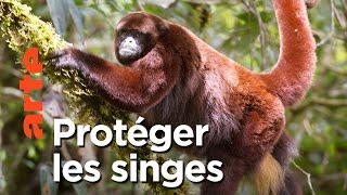 Documentaire Le singe laineux à queue dorée du Pérou