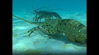 Documentaire Les langoustes porcelaines – Légendes vivantes d'outre mer