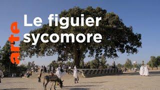 Documentaire Histoires d'arbres | Les Sacrés