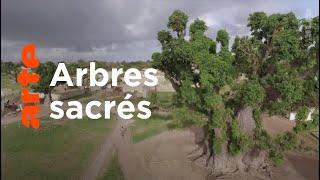 Documentaire Histoires d'arbres | Les vénérables
