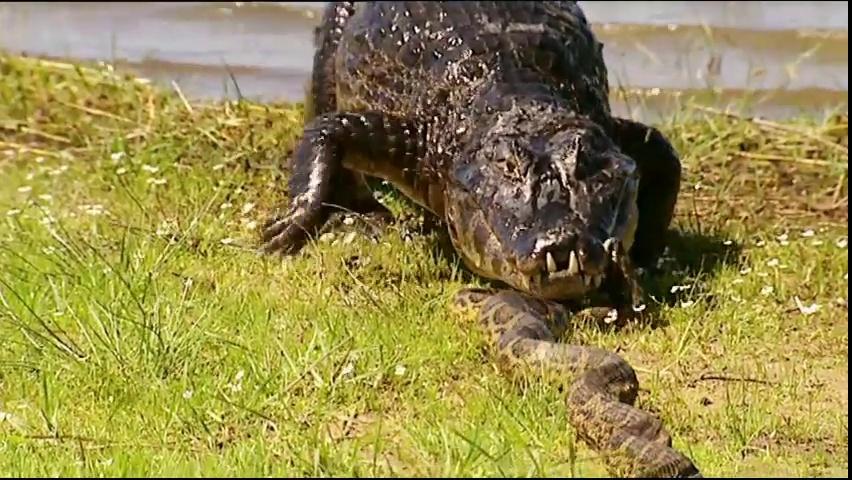 Documentaire Anacondas et caïmans : duel au coeur du marais