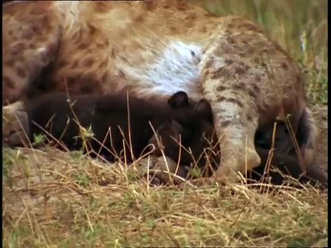 Documentaire La hyène