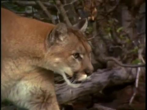Documentaire Le puma – Champions de la nature