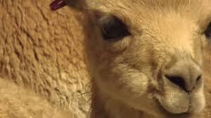 Documentaire La vigogne, espèce menacée pour laine convoitée