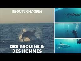 Des requins & des hommes - Requin chagrin