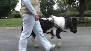 Des chevaux miniatures pour guider les aveugles