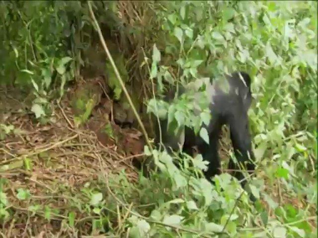 Documentaire Les derniers gorilles de montagne – Rano, le nouveau chef de clan
