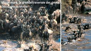 Masaï mara, la grande traversée des gnous