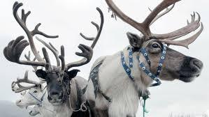 Documentaire Coup de chaud pour les rennes de Sibérie