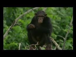 Documentaire Docteur Chimpanzé