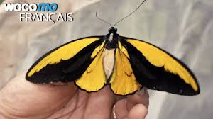 Documentaire Voyage en Indonésie – Des scientifiques partent à la recherche d'un papillon géant