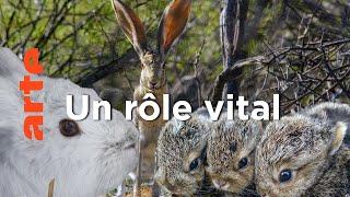 Documentaire Lapins et lièvres – La fabuleuse histoire des grandes oreilles