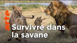 Documentaire Les lions du Botswana