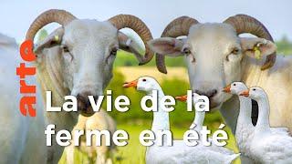 Documentaire Eté – La grande évasion | La vie cachée des animaux de la ferme