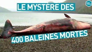 Documentaire La mort mystérieuse de 400 baleines