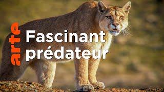 Documentaire Les pumas de Patagonie