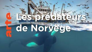 Documentaire Norvège : le festin des orques