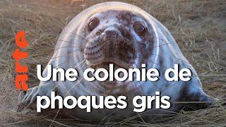 Documentaire Canada, les phoques gris de l'île de Sable