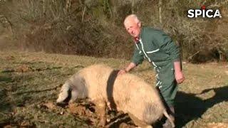 Documentaire Ma passion ? Les cochons !