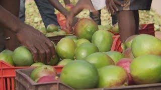 Documentaire La mangue de Côte d'Ivoire