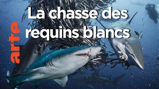 Documentaire Les prédateurs | Dans le sillage des requins