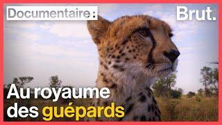 Namibie : ils se battent pour sauver les guépards
