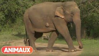 Documentaire Sur la piste des éléphants sauvages du Sri Lanka
