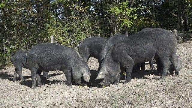 Documentaire Les cochons de la colère