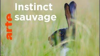Documentaire Le lapin, taillé pour survivre   Pas si bêtes !