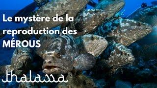 Documentaire Le mystère de la reproduction des mérous