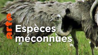Documentaire Le nandou d'Amérique   Ces animaux venus d'ailleurs