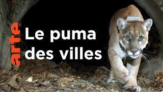 Le puma d'Amérique | Quand les animaux sauvages emménagent en ville
