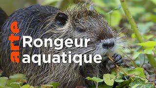 Documentaire Le ragondin | Ces animaux venus d'ailleurs