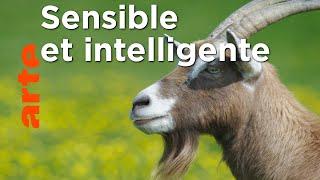 Documentaire Les chèvres savantes | Pas si bêtes !