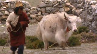 Documentaire Terres de légendes | Le yak sacré du Mani-Rimdu