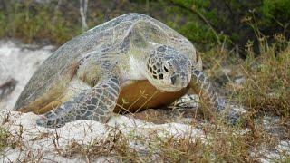 Archipel des Glorieuses: le secret des tortues vertes