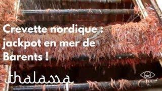 Crevette nordique : jackpot en mer de Barents !