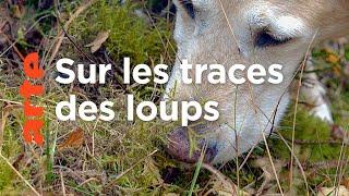 Des chiens sur la piste des loups