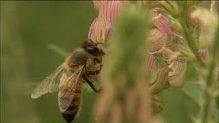 Disparition des abeilles : la fin d'un mystère
