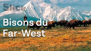 États-Unis : rassemblement de bisons avec les cow-boys du Far-West